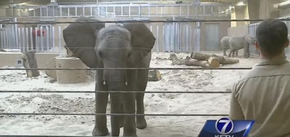Swaziland elephants in captivity in the USA / Photo screencapped from KETV youtube