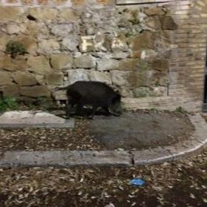 Un cinghiale scorrazza indisturbato a Roma nord nel quartiere densamente abitato di Balduina. Foto: Facebook.