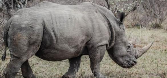South Africa to lift rhino horn trade ban / Photo CCO Public domain via Pixabay.com