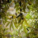 Il fascino ed i colori sgargianti degli ulivi