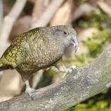 Kea's really know how to spread the joy! / Photo via Parrots make each other laugh, at least kea birds in New Zealand ... - wsbradio.com