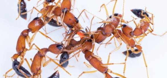 Genetically modified ants - The Crux: discovermagazine.com