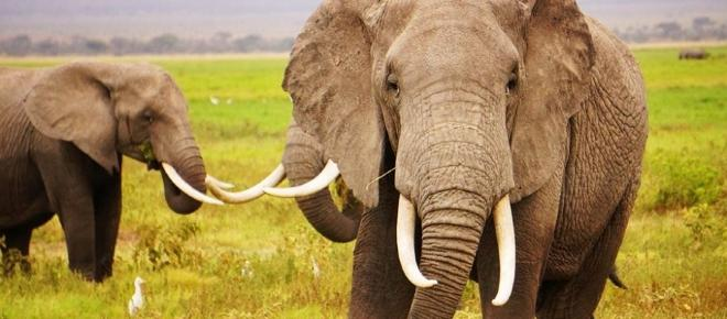 What are the government doing to combat the ivory poaching?