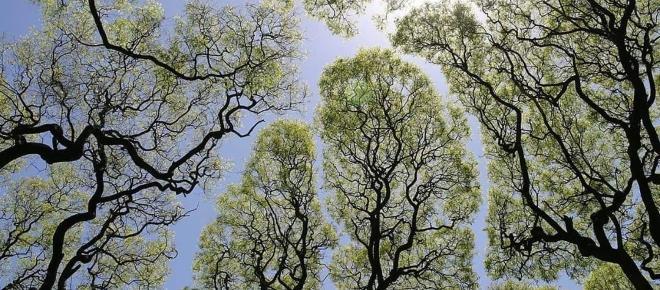 ¿Qué es la tímidez de los árboles?