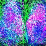 Astrocytes Set the Pace of Our Body Clocks | Technology Networks - technologynetworks.com