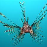 Una foto del velenoso pesce scorpione