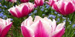 tulipani e la mostra Flower Show di Ancona