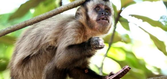 Macacos adoecem primeiro e informam sobre a circulação do vírus