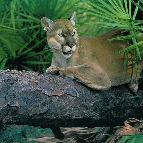 Habitat Protection For The Florida Panther | The Conservation Fund - conservationfund.org