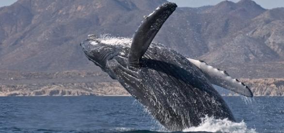 El Mar de Cortez alberga el 40% de los mamíferos marinos del planeta, antes propiedad de México, ahora de USA, ¿Podremos recuperarlo?