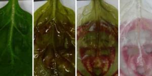 Spinatblätter nachdem sie ausgewaschen sind. Quelle: YouTube/ WPI