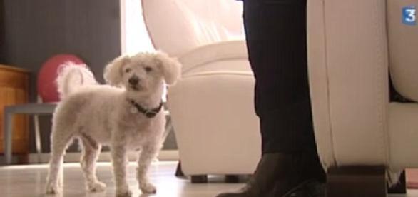 Topaze é um Bichon Frise que foi encontrado, 11 anos depois de fugir. Veja que história incrível.