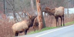 Elk near Punxsutawney PA USA photo by author