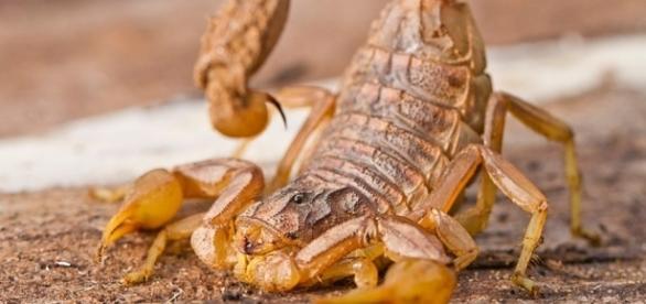 Scorpion - Brooker Pest Control - brookerpestcontrol.com