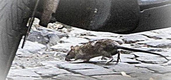 A Trastevere va in scena il morso del ratto: ragazza sotto choc e ... - intelligonews.it