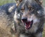 Animales: Decapitaciones y pirómanos: por qué España odia al lobo ... - elconfidencial.com