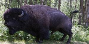 Texas, bisonte vive con una coppia di coniugi