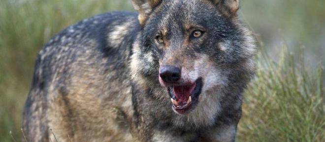 La selección natural de los lobos