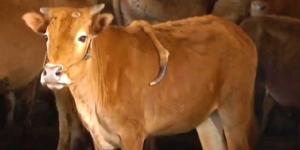 Cina, mucca con 5 gambe: un arto sulla schiena