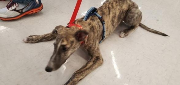 Pang Pang: Rescued Puppy from China - American Greyhound - americangreyhound.org