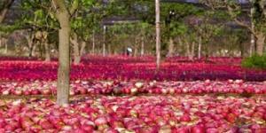 La mela Annurca è una varietà che viene raccolta immatura e lasciata maturare al suolo.