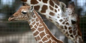 April The Giraffe Top Baby Names Revealed, Oliver Meets Son As ... - inquisitr.com