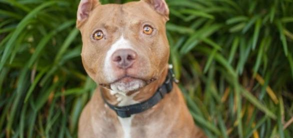 Breed Specific Legislation & The Truth About Pit Bulls - The ... - dogingtonpost.com