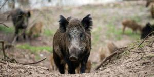 Wild boars reportedly attacked ISIS in Iraq, killing 3 fighters - theweek.com