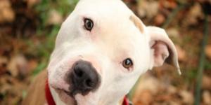 Pit Bull Dogs - The Latest Info, Facts and Myth About Pitbulls - americanbullydaily.com
