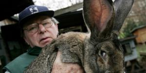 World's longest rabbit Darius, whose offspring Simon died aboard a UA flight. / From 'The Inquisitr' - inquisitr.com
