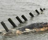 Scientists to review large number of humpback whale deaths | Times ... - timesfreepress.com
