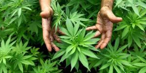 Marihuana-Legalisierung in den USA schreitet voran • NEWS.AT - news.at