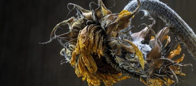 Olio di girasole ucraino adulterato con grasso di pollo