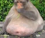 La scimmia obesa di Bangkok: 'Uncle Fat' a dieta