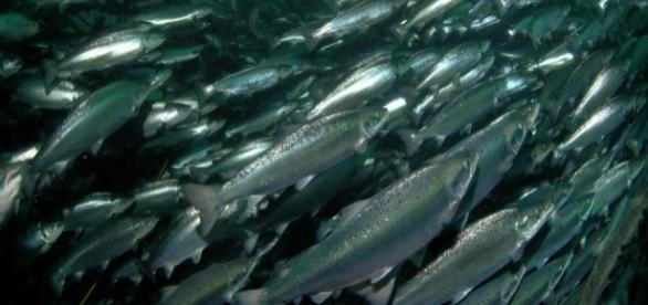 Farmed Salmon | Industries | WWF - worldwildlife.org