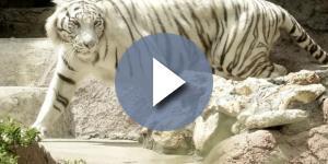 Tigre del Bengala salvata dai Carabinieri