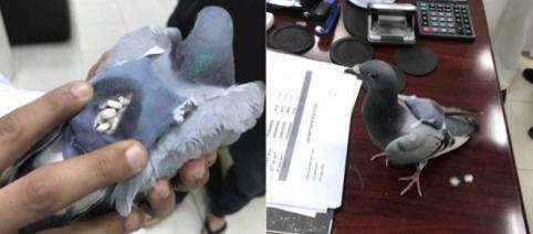 Pombo foi flagrado no Kuwait transportando drogas em pequena mochila (Crédito: Twitter/ Al Arabiya English)