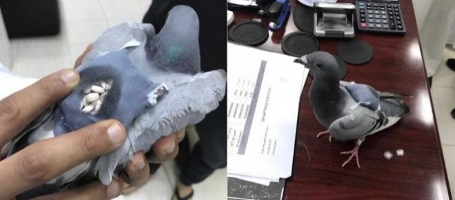 Pombo 'traficante' é flagrado transportando drogas em mini mochila
