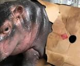 Fiona, the baby hippo, is all the rage at Cincinnati Zoo. - Cincinnati Zoo And Botanical Garden
