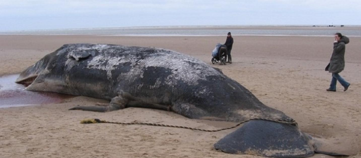 A dead blue whale with 10 broken ribs found washed up on a ...