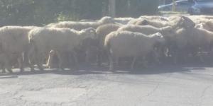 Roma, pecore su via Cristoforo Colombo