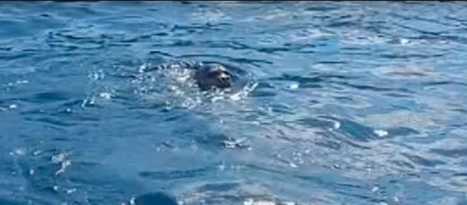 Nel mare del Salento spunta un rarissimo animale: ecco il video da brividi