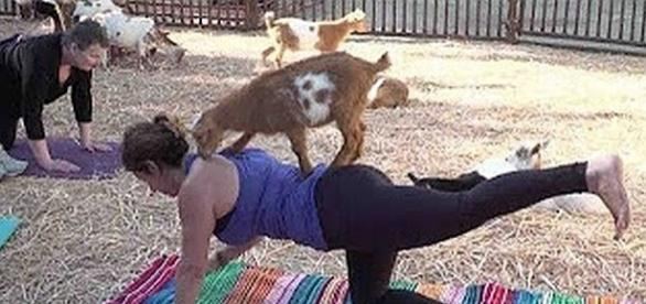 Goat yoga is sweeping the nation - Screenshot/YouTube/CETN.com