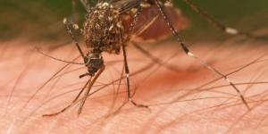 Zanzara - Tipi di zanzare (Culicidae) | Foto | Scheda Completa - animalivolanti.xyz