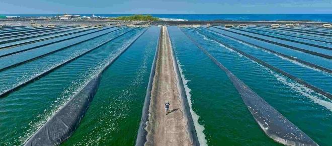 Microalgas, ¿energía del futuro?