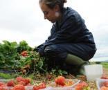 Lucrătoare culegând căpșuni în Marea Britanie - Foto: independent.co.uk (PA Archive/PA Images)