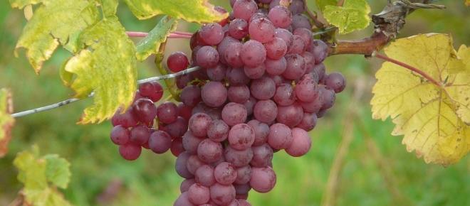 Cancro al colon: gli estratti di uva ridurrebbero l'incidenza del 50%