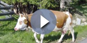Caso sospetto di mucca pazza a Padova (foto di repertorio)