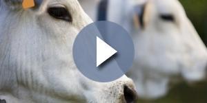 Mucca pazza: torna la paura dopo gli ultimi casi in italia