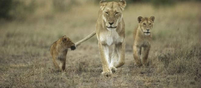 Eccezionale evento: leonessa adotta un cucciolo di leopardo